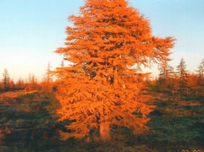 Дерево Аал-Луук мас_1