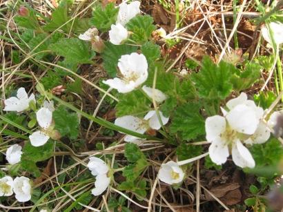Цветы морошки_1