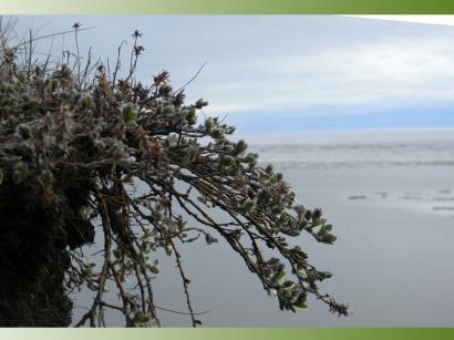 Остров Большой Ляховский. Ива ползучая