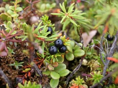 Empetrum subholarcticum V.Vassil. – Шикша голарктическая