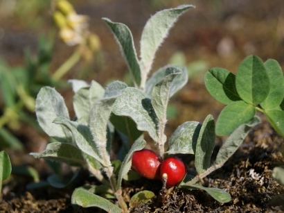 Salix glauca L. – Ива сизая