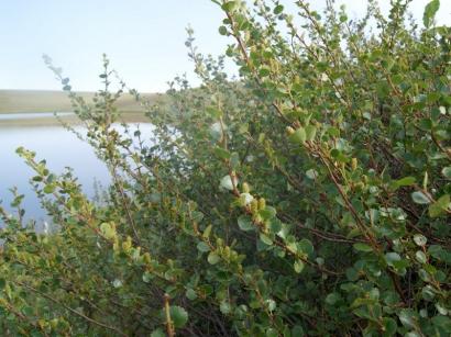 Betula exilis Sukacz. – Береза тощая