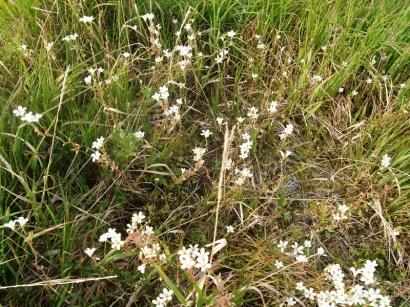 Saxifraga cernua L. – Камнеломка поникшая