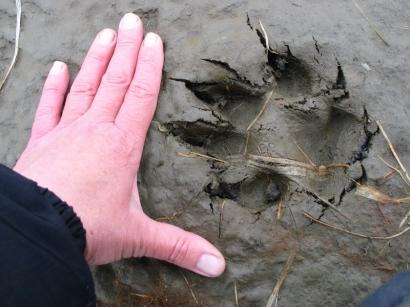 Следы волков на острове Большой Ляховский_1