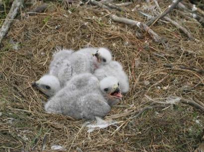 Птенцы зимняка