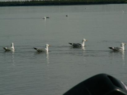 Серебристые чайки