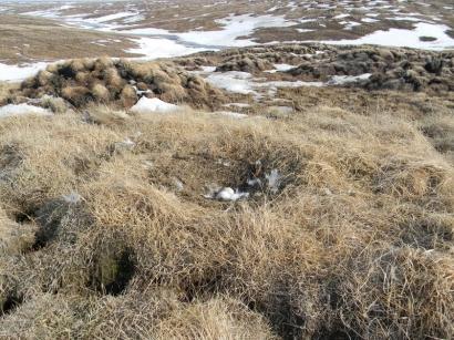 Гнездо белой совы