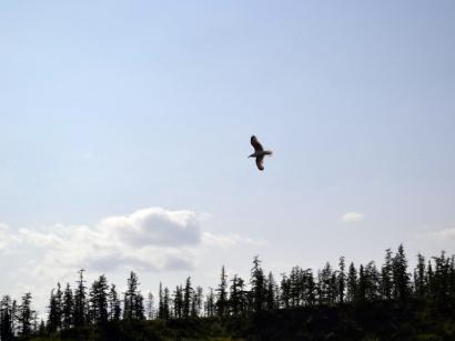 Одинокая чайка