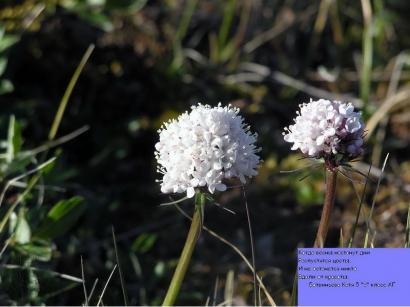 Цветы тундры_2