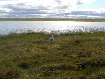 Чайка у озера_1