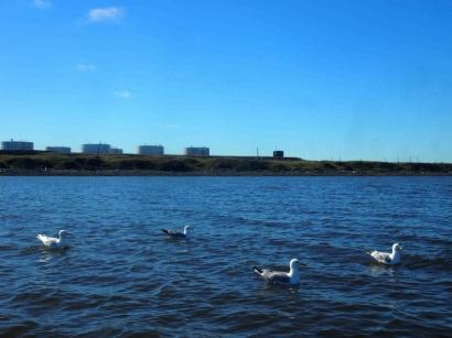 Чайки на воде_1