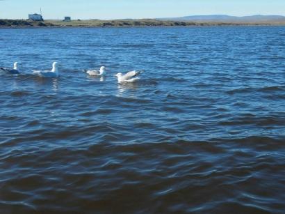 Чайки у бухты_1