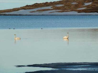 Лебеди и морянки_1