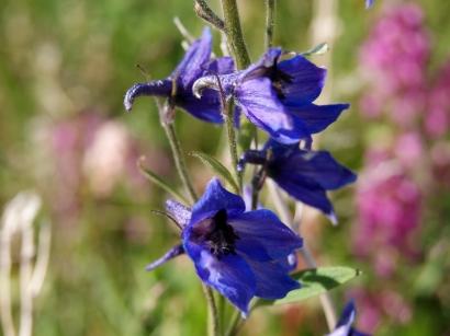Delphinium ochotense Nevski – Живокость охотская
