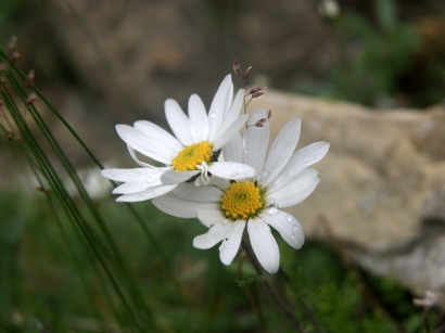 Dendranthema mongolicum (Ling.) Tzvel. – Дендрантема монгольская