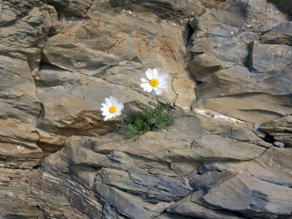 Dendranthema mongolicum (Ling.) Tzvel. – Дендрантема монгольская(2)