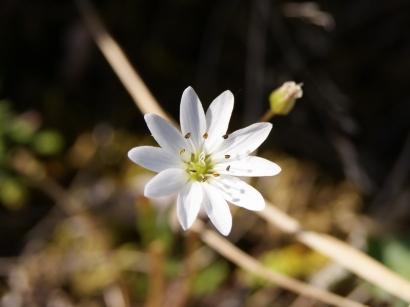 Stellaria peduncularis Bunge – Звездчатка цветоножковая