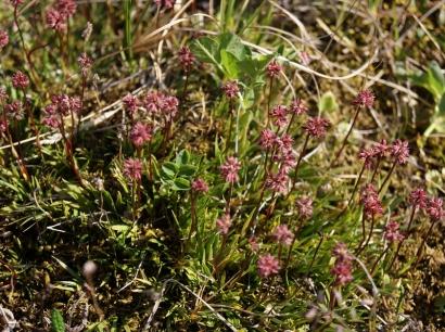 Tofieldia coccinea Richards. – Тофильдия краснеющая