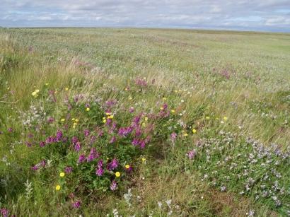 Разгар цветения тундровых растений
