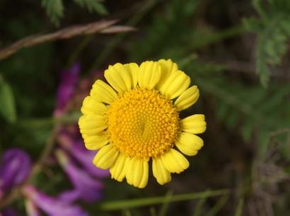 Tanacetum bipinnatum (L.) Sch.Bip. – Пижма дважды-перистая