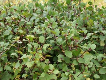 Dushekia fruticosa (Rupr.) Pousar – Ольховник кустарниковый(2)