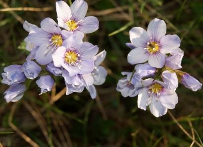 Polemonium boreale Adams – Синюха северная