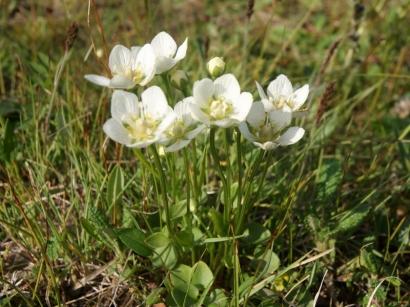 Parnassia palustris L. – Белозор болотный