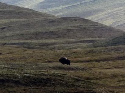 Одинокий овцебык в районе оз. Севастьян-Кюель