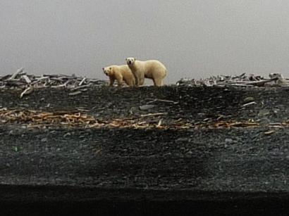 Остров Столбовой. Медведи на берегу моря