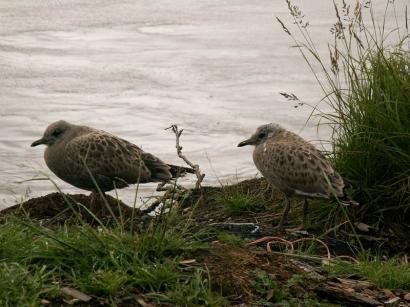 Молодые серебристые чайки