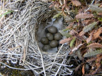 Подорожник, гнездо