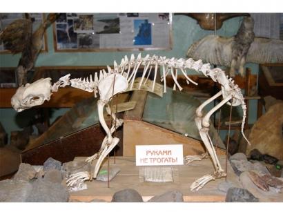 Скелет росомахи