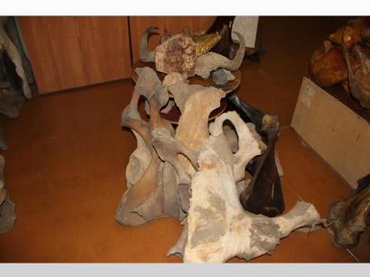Коллекция мамонтовых костей