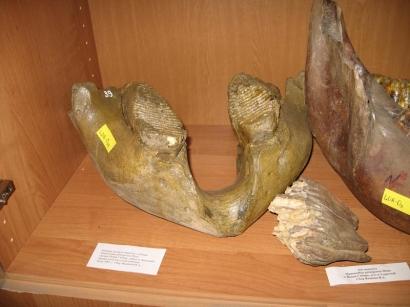 Нижняя челюсть мамонта с зубами